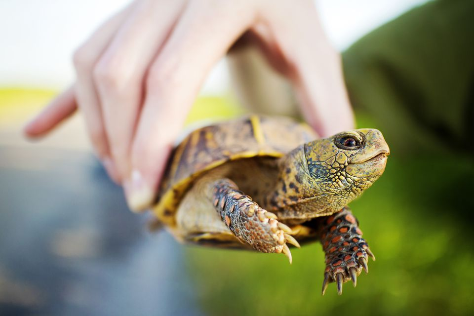 Box turtle held by a hand