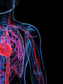 que-es-el-sistema-cardiovascular.jpg