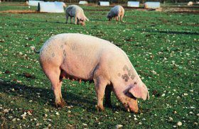 Image of Pigs In a Field