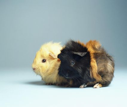 What Kind Of Food Do Guinea Pigs Eat