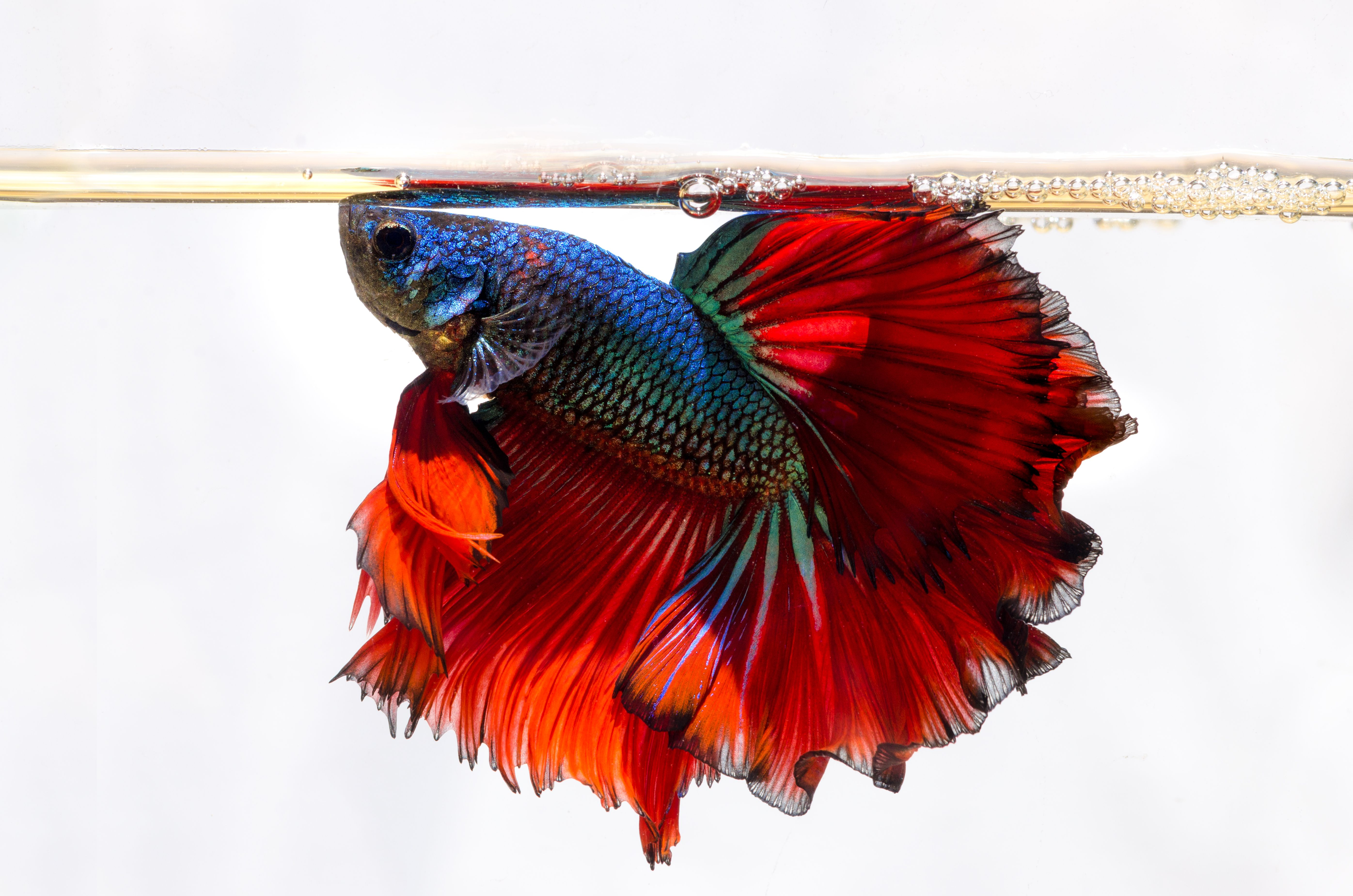 Commonly asked questions about bettas for Swimming fish cat toy