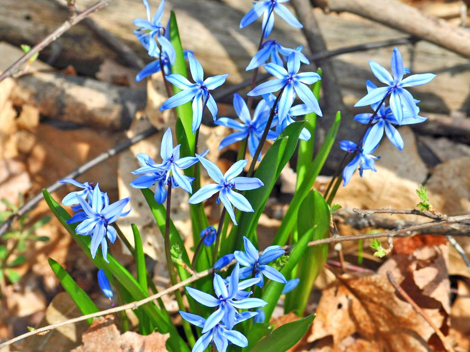 Scilla in Bloom