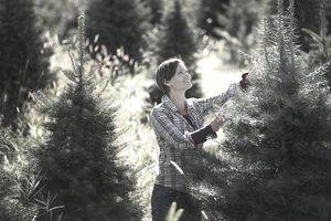 Organic Christmas trees in a plantation, being pruned by a woman wearing working gloves.