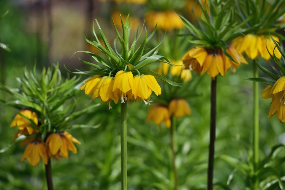 Fritillaria imperialis with yellow flowers.