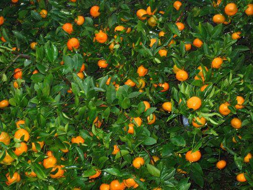 Tangerine - Citrus