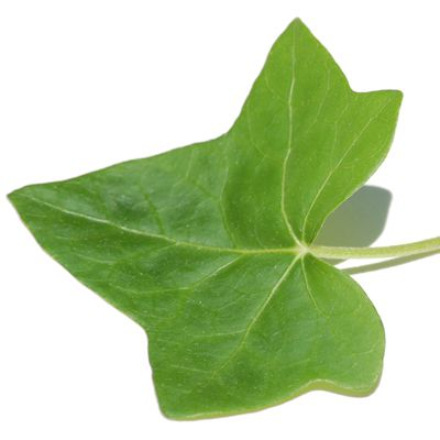 Picture of young leaf from an English ivy vine.