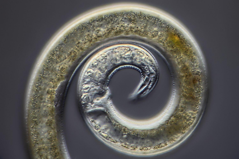 Nematoda Free Living And Parasitic Roundworms