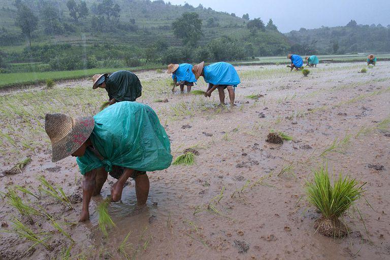 Women planting rice shoots under Monsoon Rain