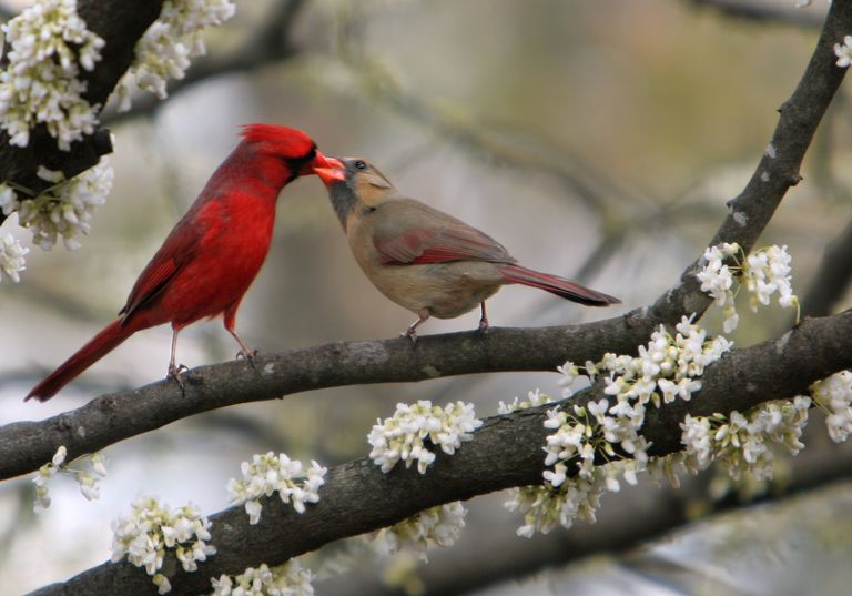 Cardinal male feeding female, in a white-flowered Cercis canadensis