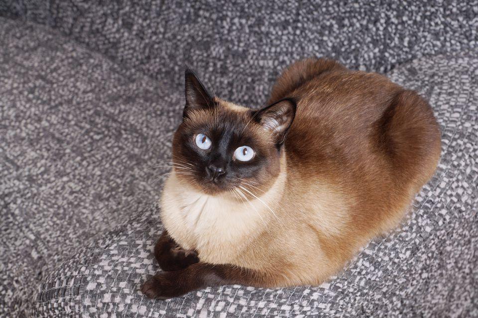Portrait Of Siamese Cat