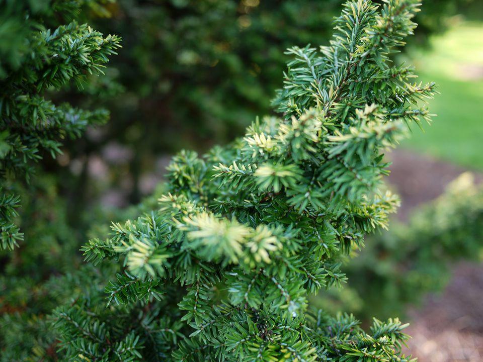 Canadian Hemlock trees