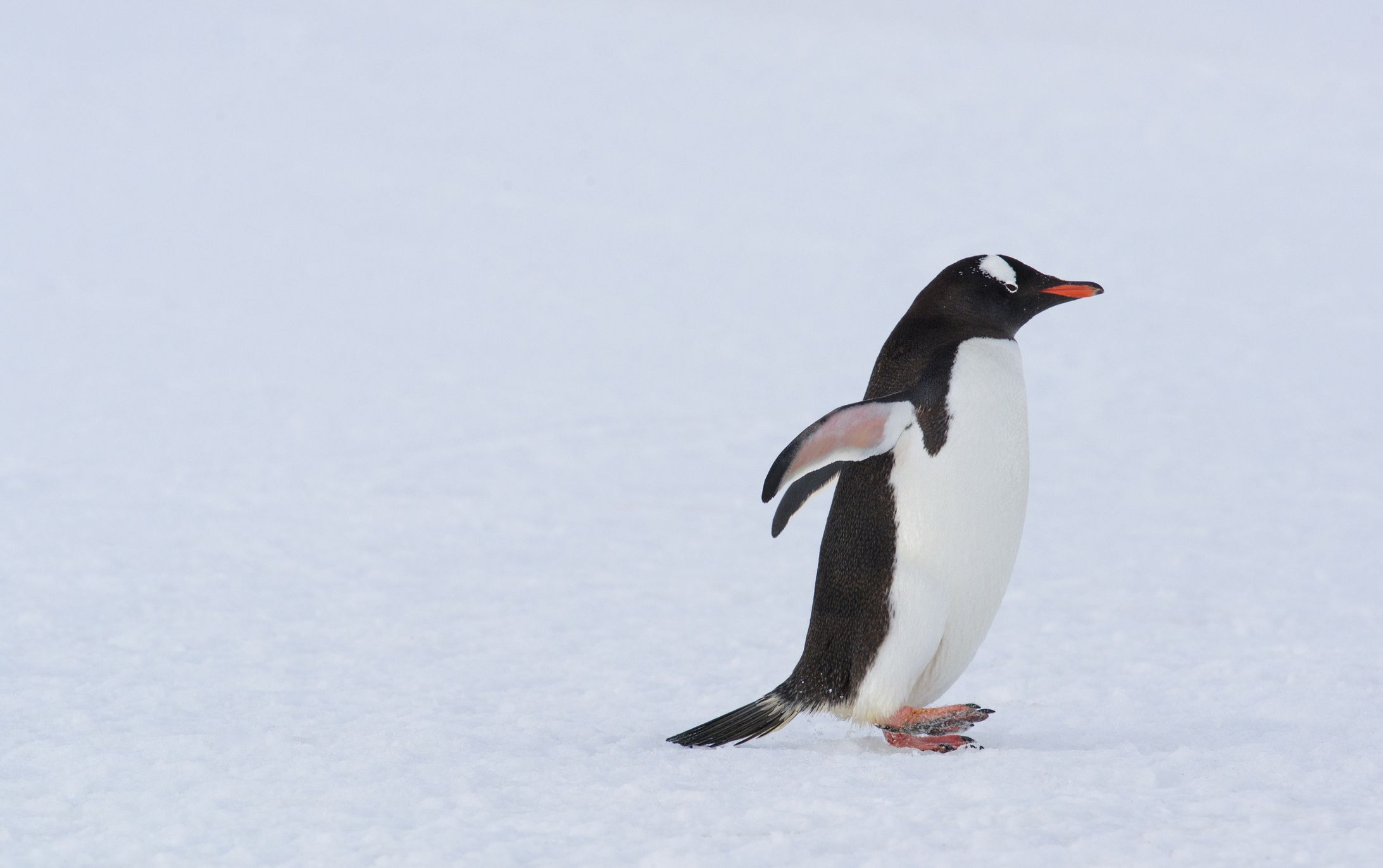 7 fascinating facts about penguins
