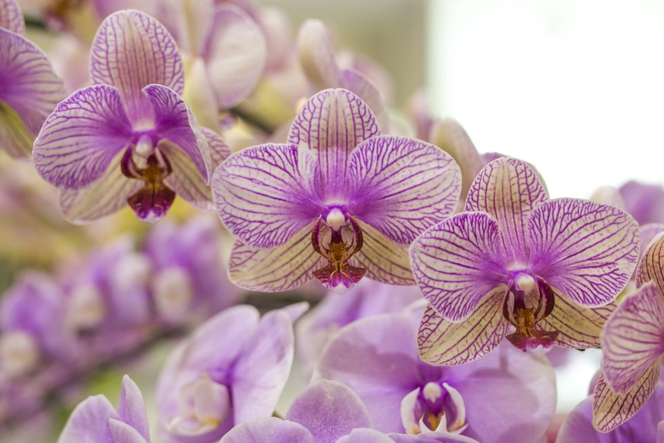 Full Frame of Purple and White Orchids Flowers