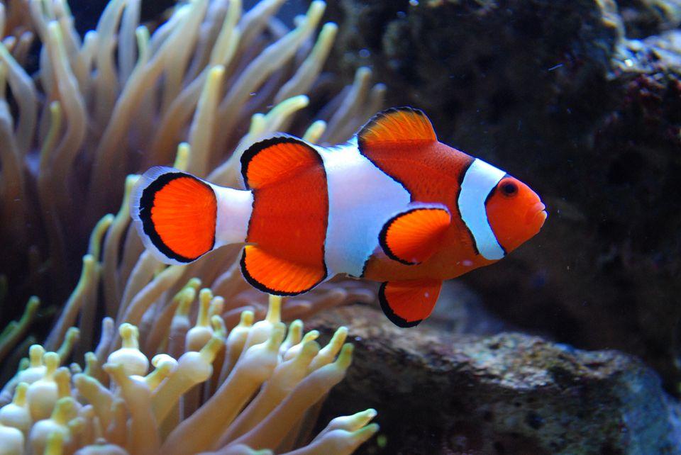 Photos of saltwater aquarium fish for Marine aquarium fish