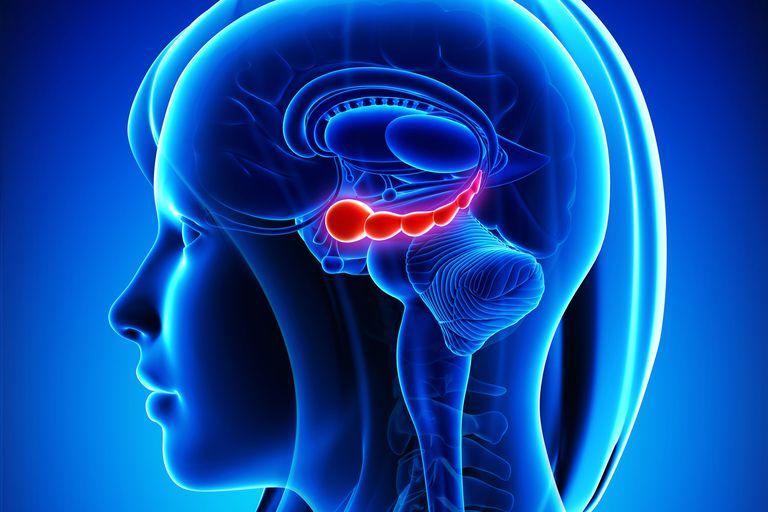 Illustration of brain highlighting hippocampus