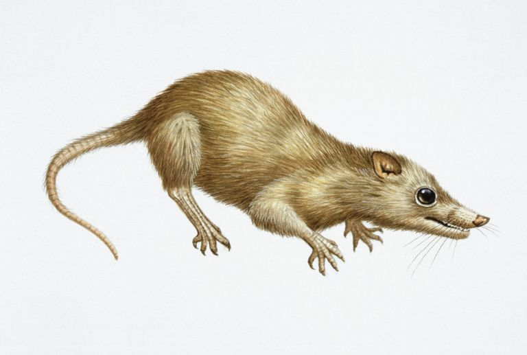 IIllustration of Megazostrodon