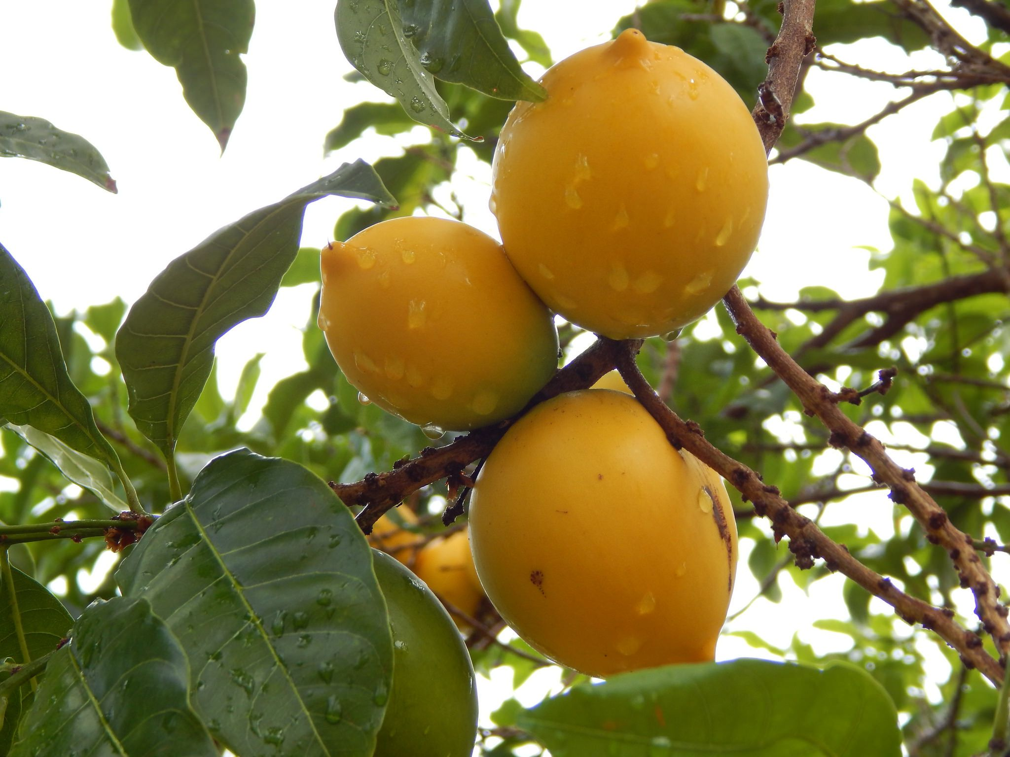 Pictures Of Various Tropical Fruits
