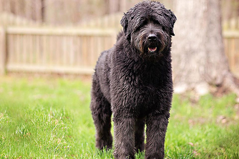 Large black labradoodle dog standing in the backyard.