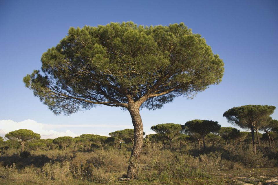 Stone pine trees (Pinus pinea) and blue sky