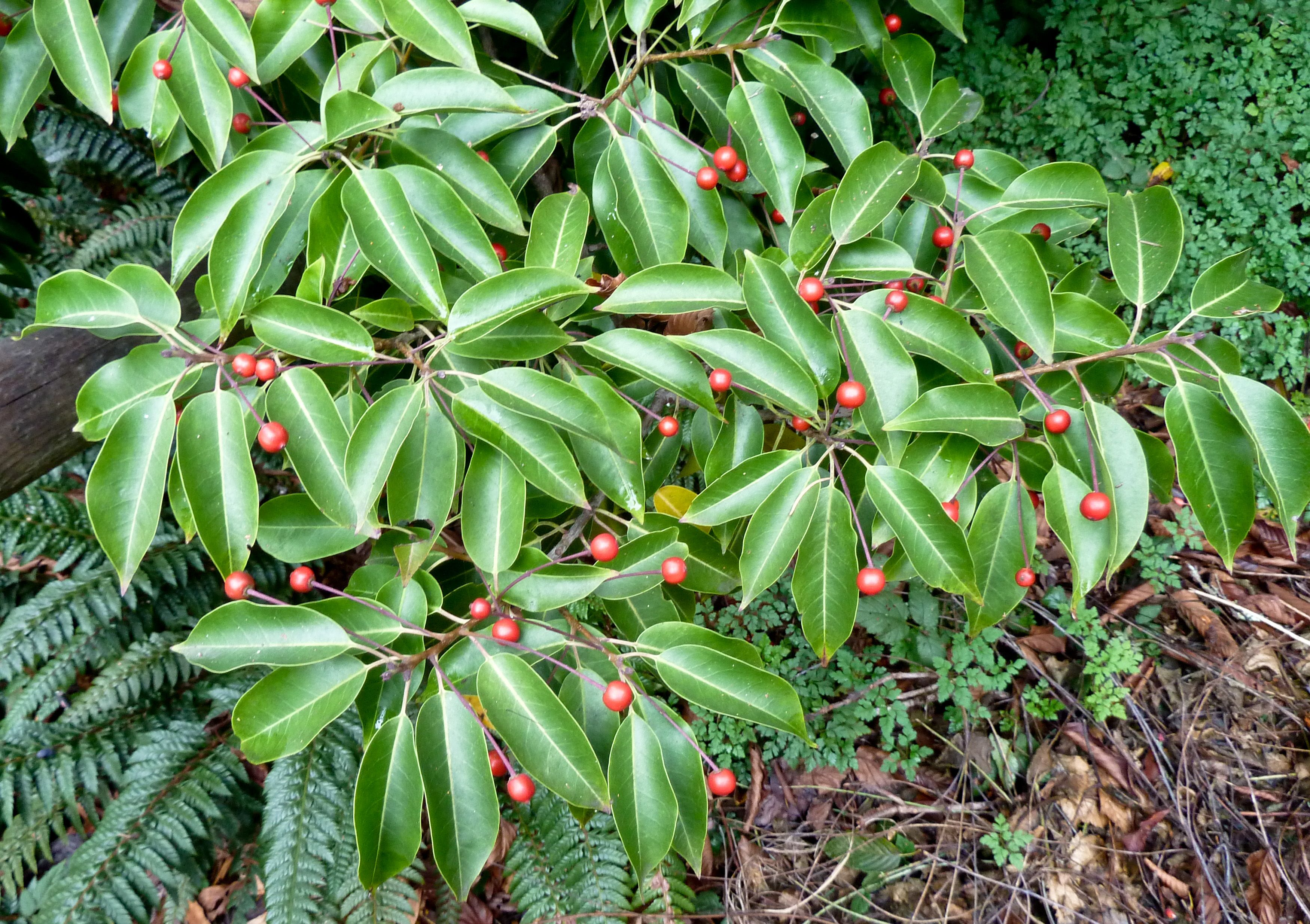 18 species of holly trees and shrubs sciox Choice Image