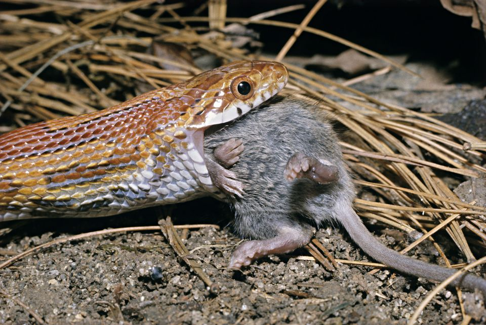 How to Feed Frozen Mice to Pet Snakes - Feeding Snakes Pre ... - photo#19