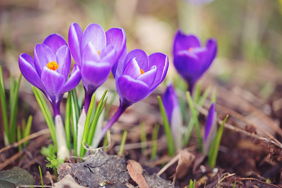 Purple Crocuses sprouting in early Spring