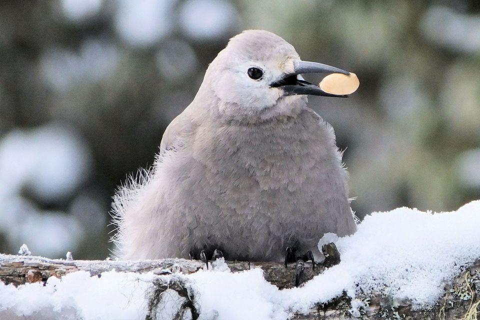 Clark's Nutcracker in Winter