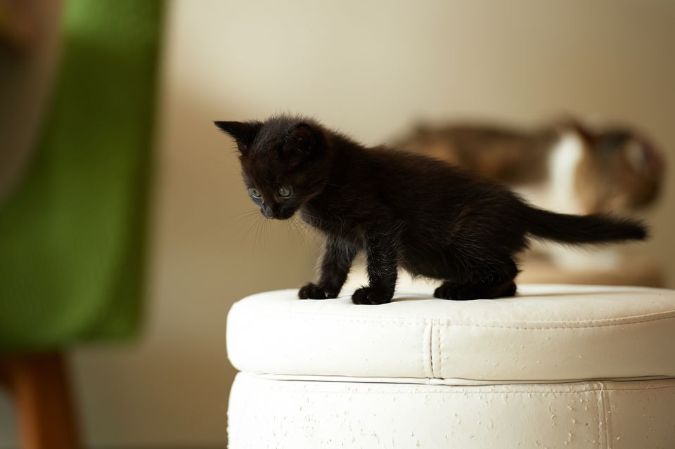 Kitten Development In The First Six Weeks Of Life