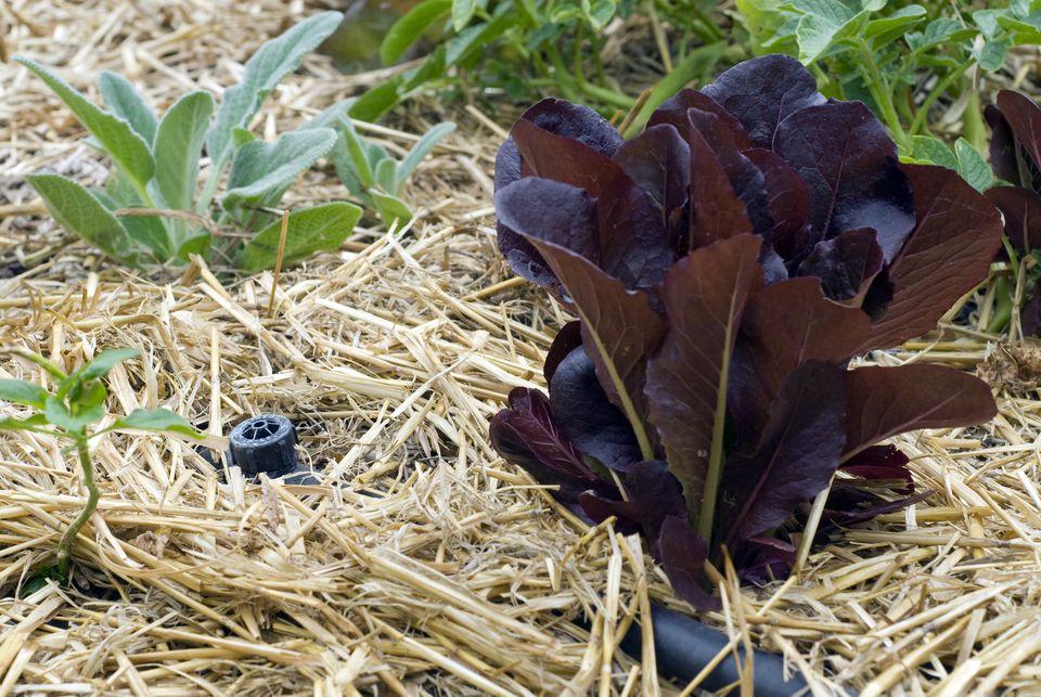 Straw mulch and drip irrigation around vegetable plants in garden.