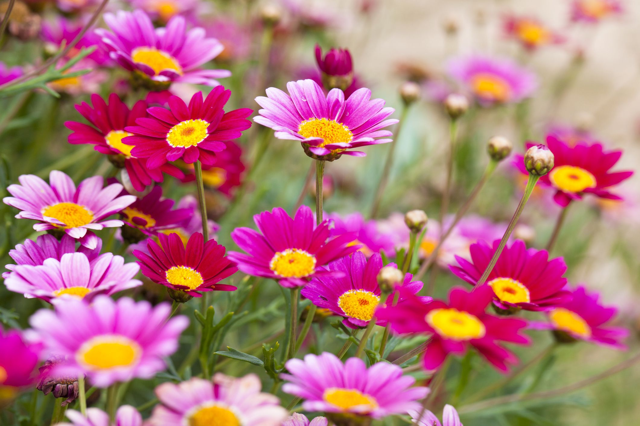 Selecting the right daisies for your flower garden dhlflorist Images