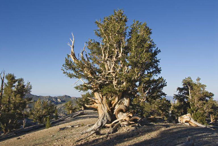 Ancient Bristlecone Pine Forest near Patriarch Grove.