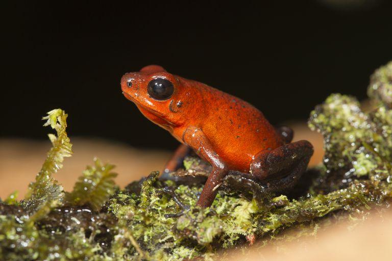 Strawberry Poison-dart Frog on lichen