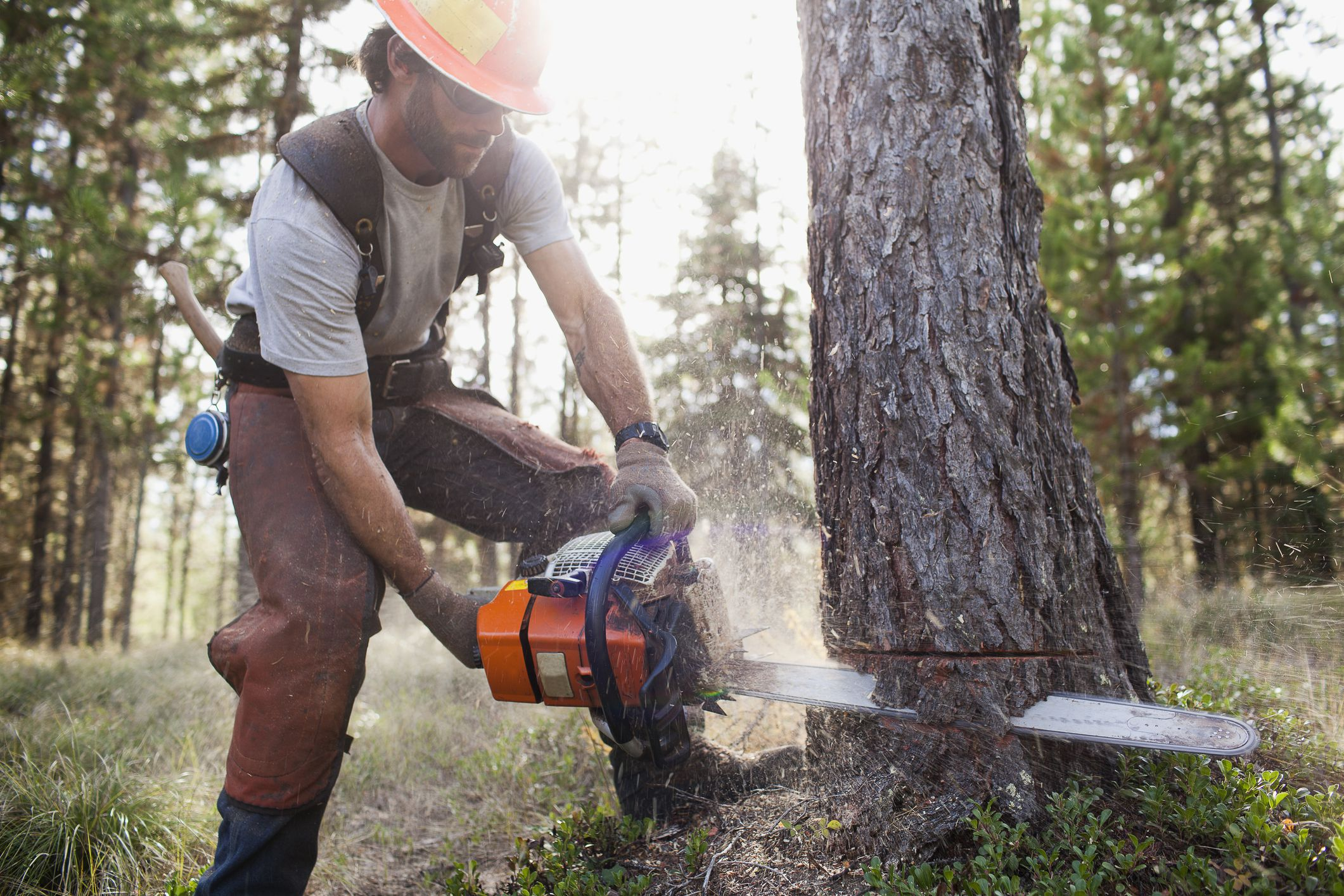 Tractor Man On Cutting Trees : How to fell a tree using chainsaw