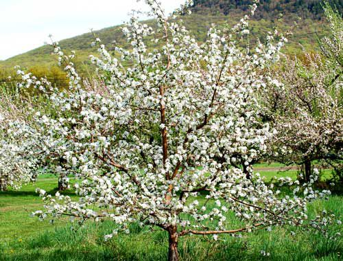 Picture of apple trees in bloom.