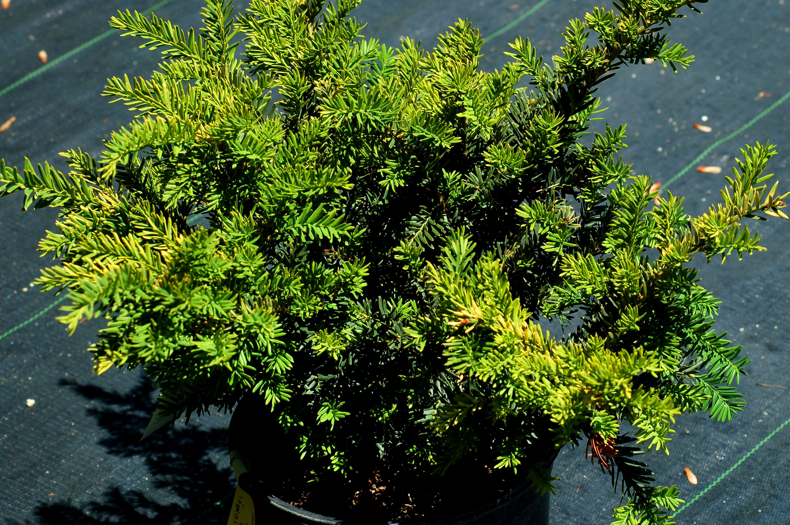When To Prune Evergreen Shrubs Timing Differs By Type