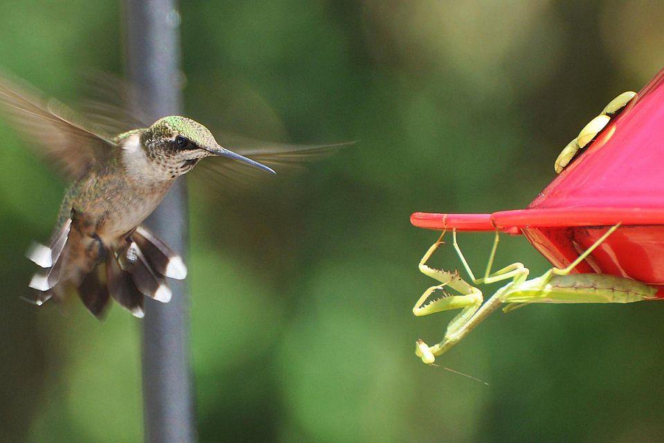 Hummingbird and Mantis