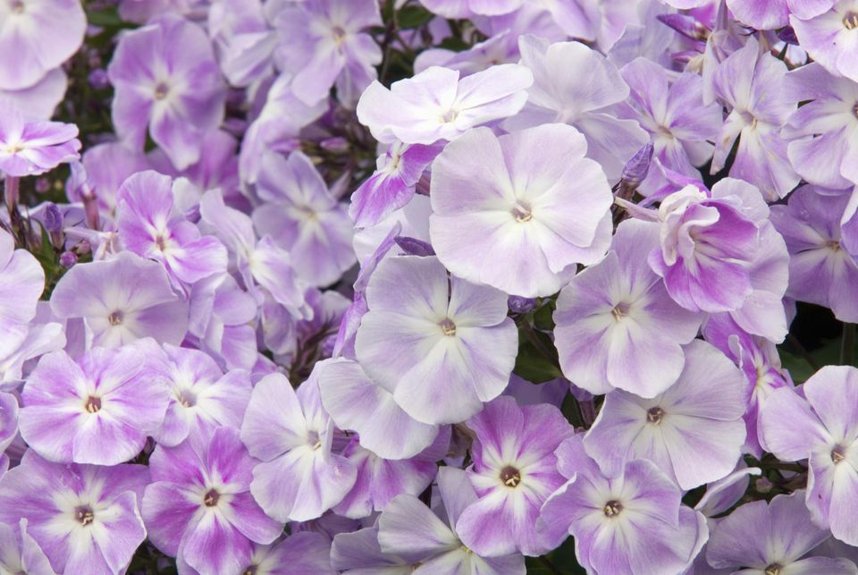 Perennial flowers that bloom all summer phlox blooms for a number of weeks during the summertime getty images mightylinksfo Choice Image
