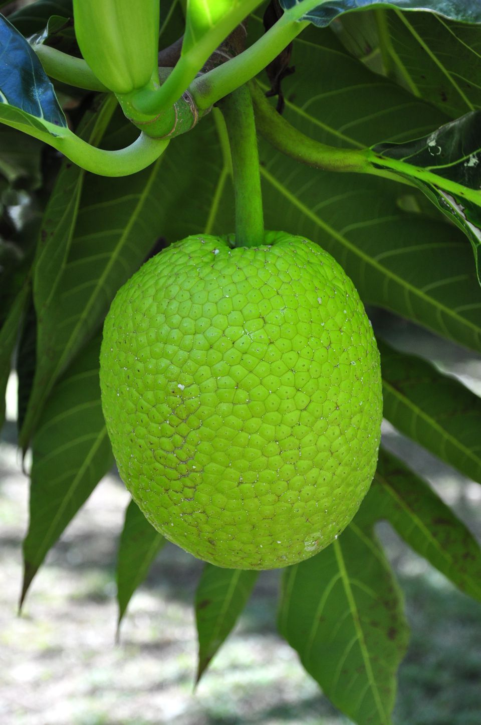 Breadfruit Juice and Smoothie Recipe