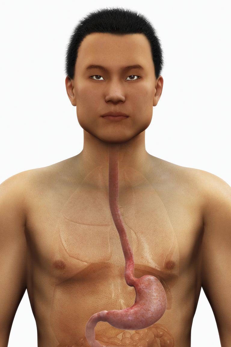 The esophagus leads into the stomach.