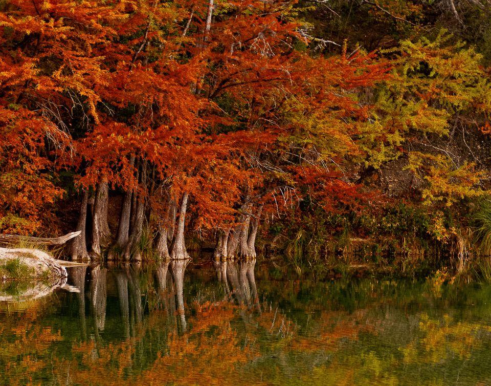 Cedar trees at fall along the Frio River