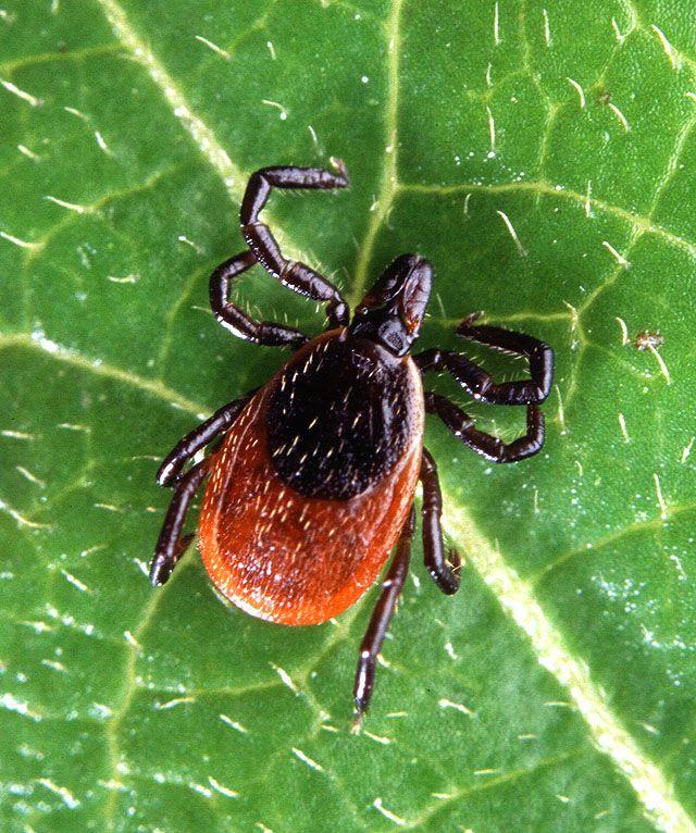 Adult deer tick, Ixodes scapularis