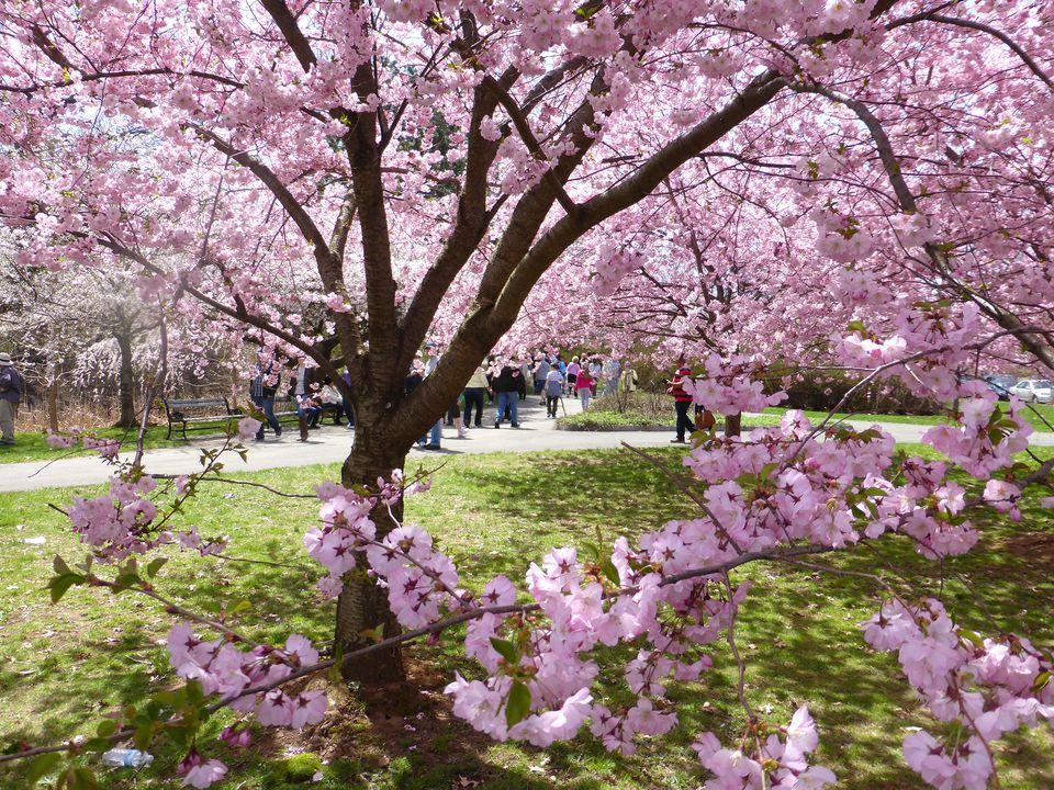 Pink cherry blossom tree in Branch Brook Park, Newark, NJ