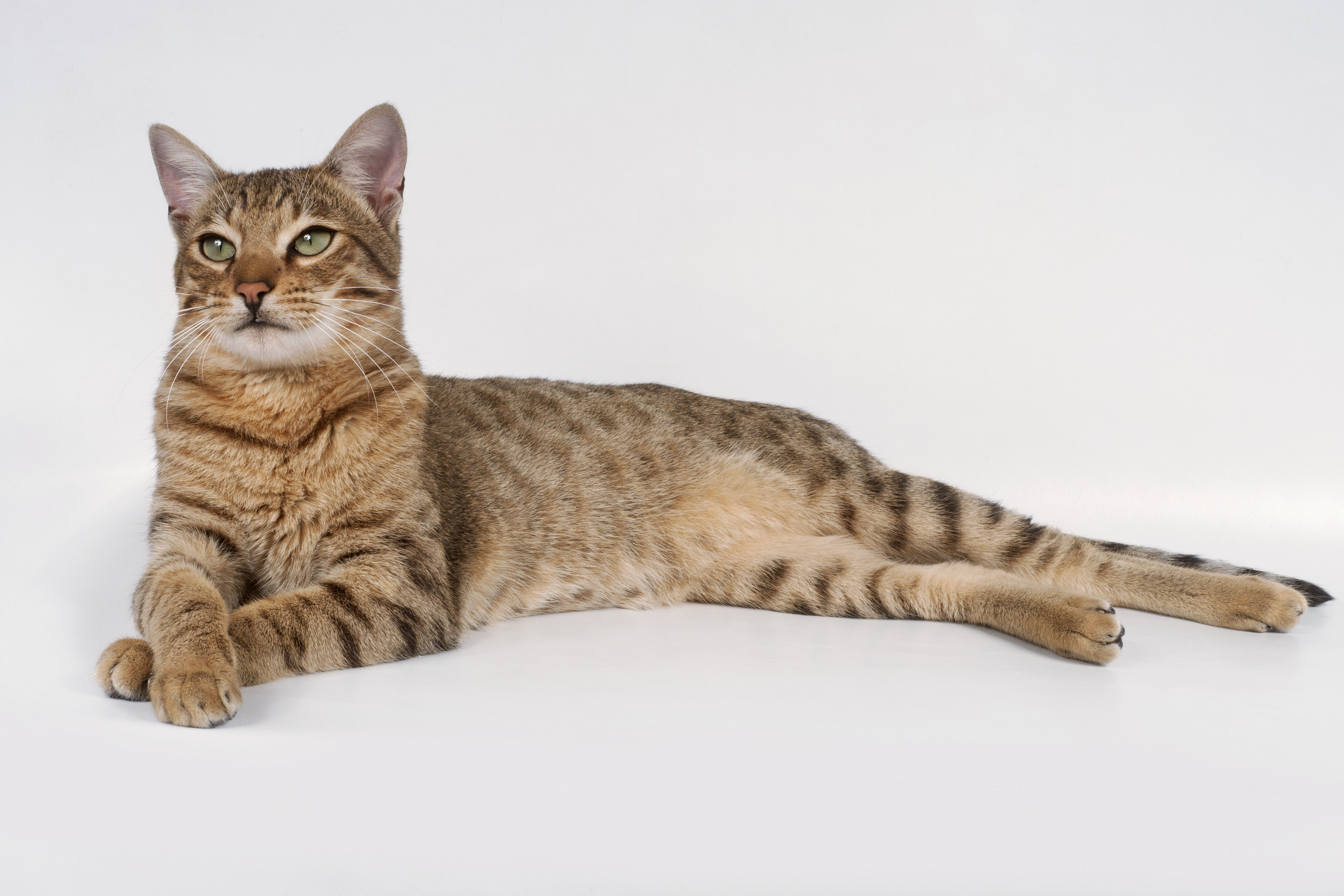 Best Food Savannah Cat