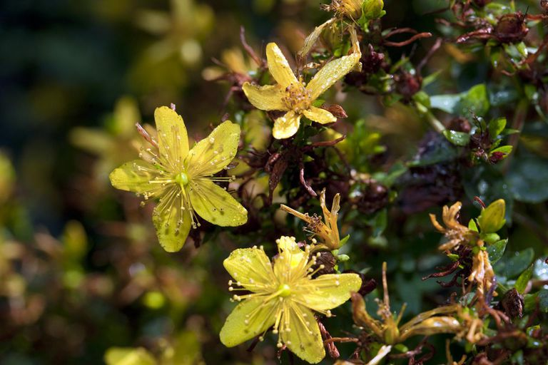 St John's Wort For Anxiety - How Does It Work? - Holistic ...