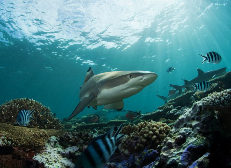 Sharks and Other Fish over Reef / Nature, underwater and art photos. www.Narchuk.com