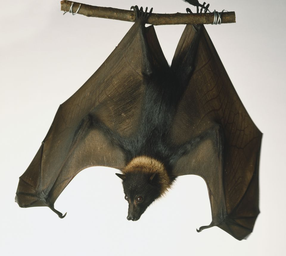 Malayan Flying Fox, Large Fruit Bat, Pteropus vampyrus, a furry brown fruit bat with a light ring around its neck hangs upside down on a thin branch held by a man's hand. Dorsal view.