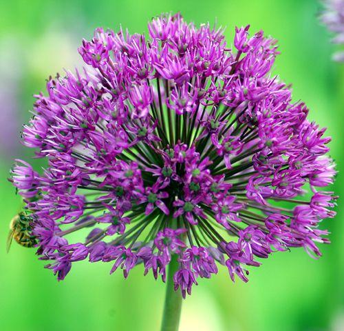 Picture of purple allium flower.