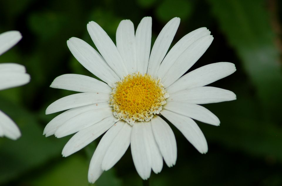 Image of Shasta daisy flower.