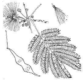 Common trees of the eastern united states botanist charles sprague sargents tree illustration collection mimosa charles sprague sargent sciox Gallery