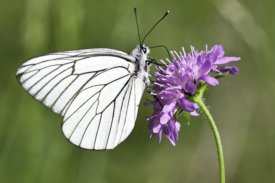 Black-veined White foraging on a Field Scabious (Knautia arvensis) flower.